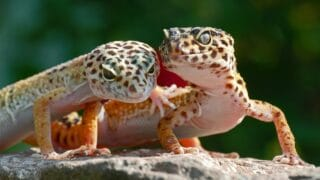 The Stages in a Leopard Gecko's Life Cycle