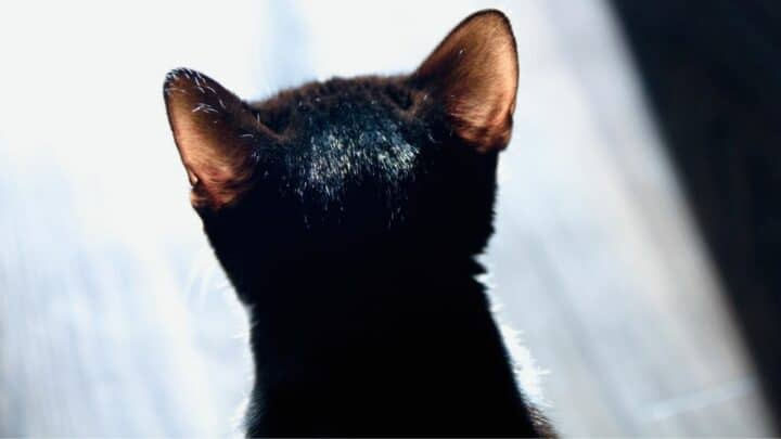 What Is This Scabbing And Hair Loss On My Cat's Ear? Oh No!