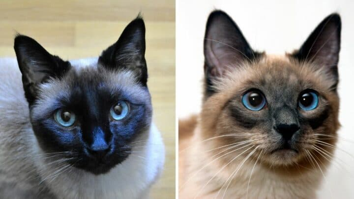 The Difference Between Chocolate and Seal Colorpoints on a Siamese Cat