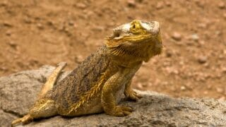 White Fungus on Bearded Dragon — How Does it Look Like, Reasons and Remedies